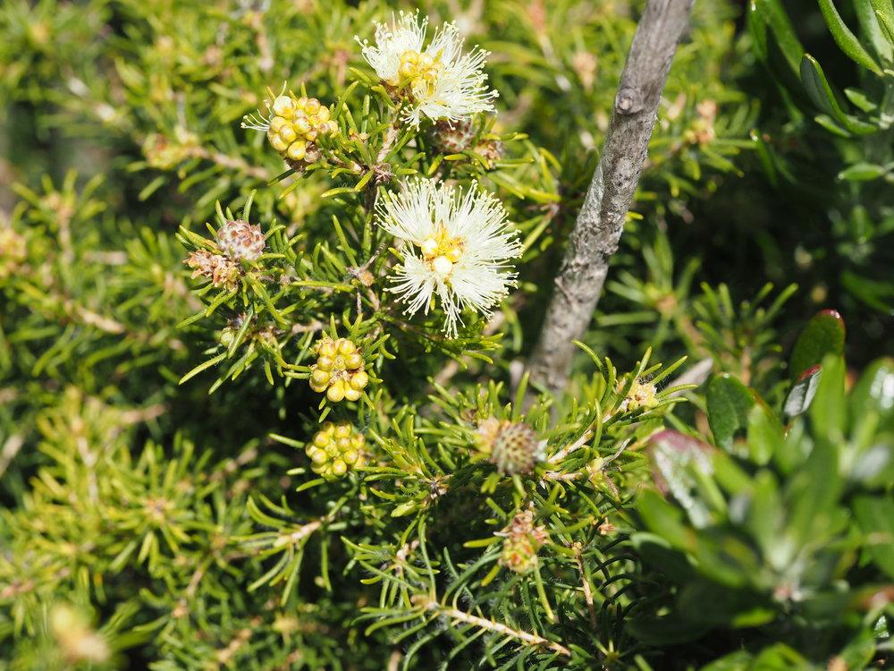 Melaleuca systena .