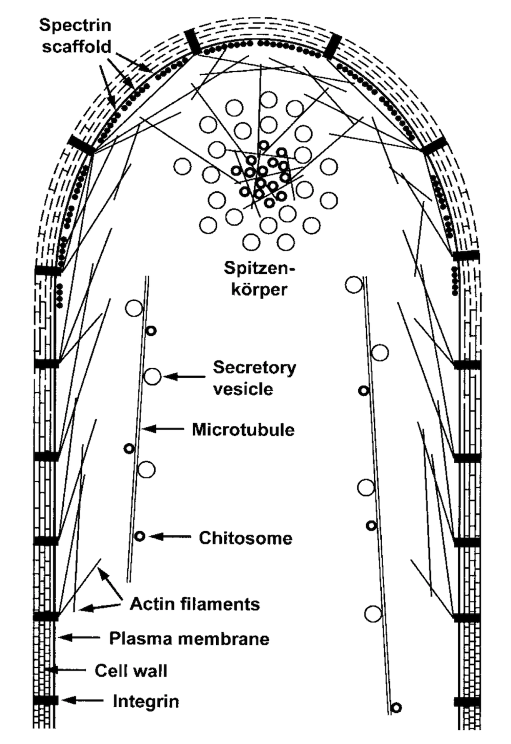 Structure of the hyphal tip . Look at the positioning of the Spitzenkörper.