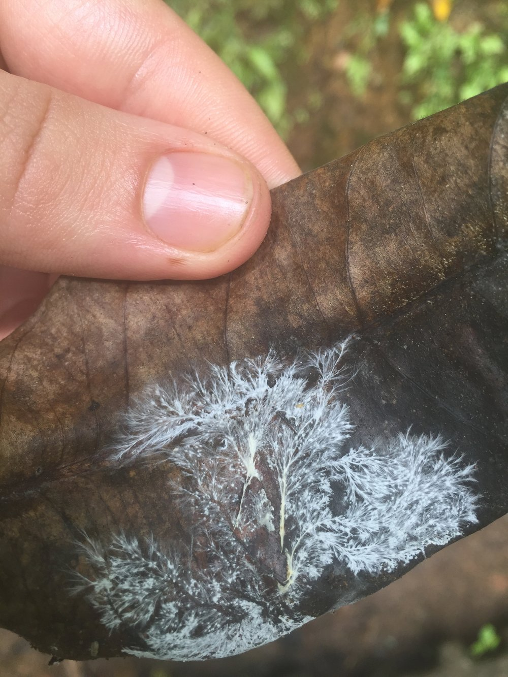 Mycelium spreading over and consuming a fallen leaf in Costa Rica.