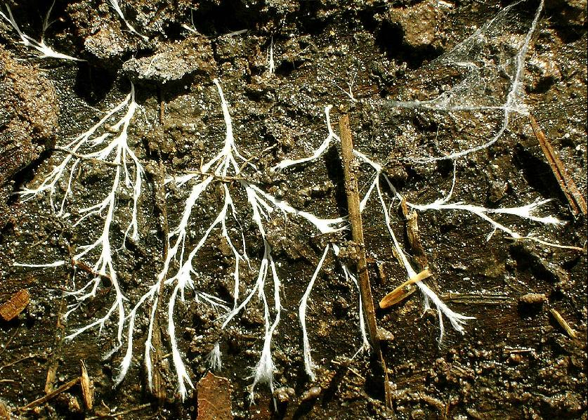 Thicker, more robust  mycelial cords .