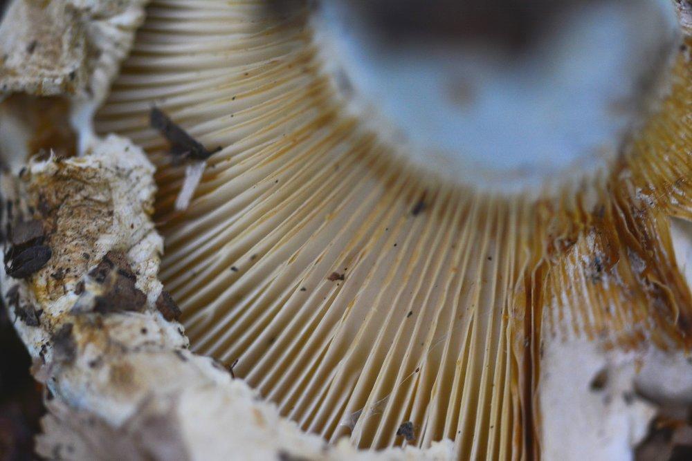 Spore forming mushroom gills
