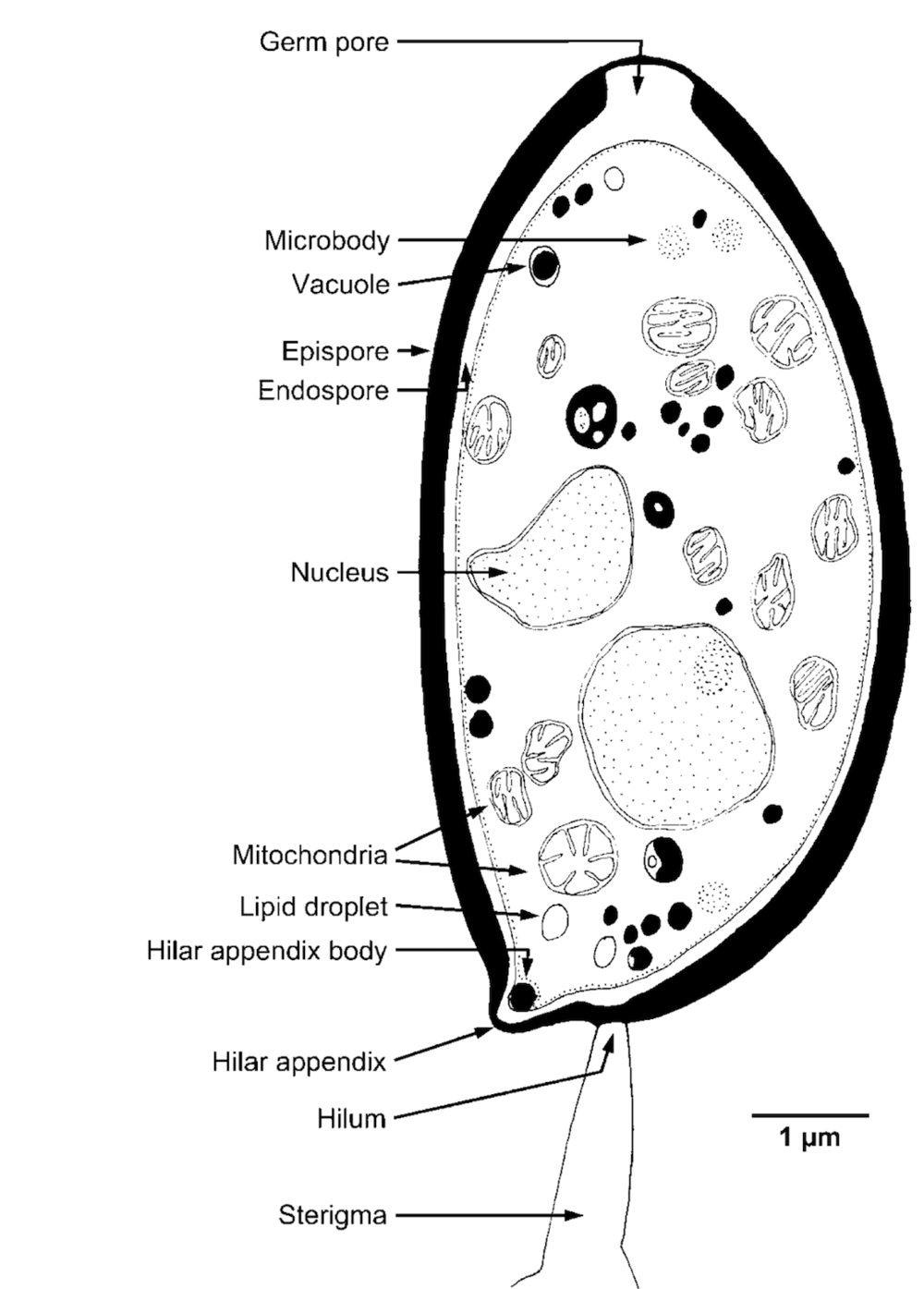 Structures of a basidiospore .