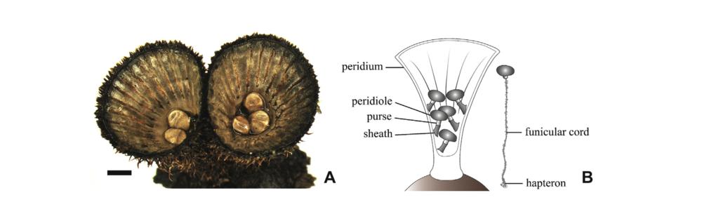 Cyathus striatus  and the sum of its parts. Hassett et al. 2013 .