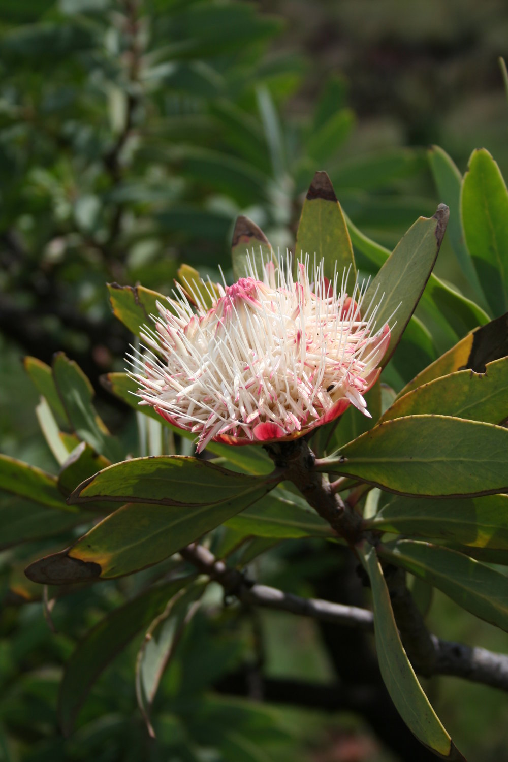Protea caffra   and its white infructescence.