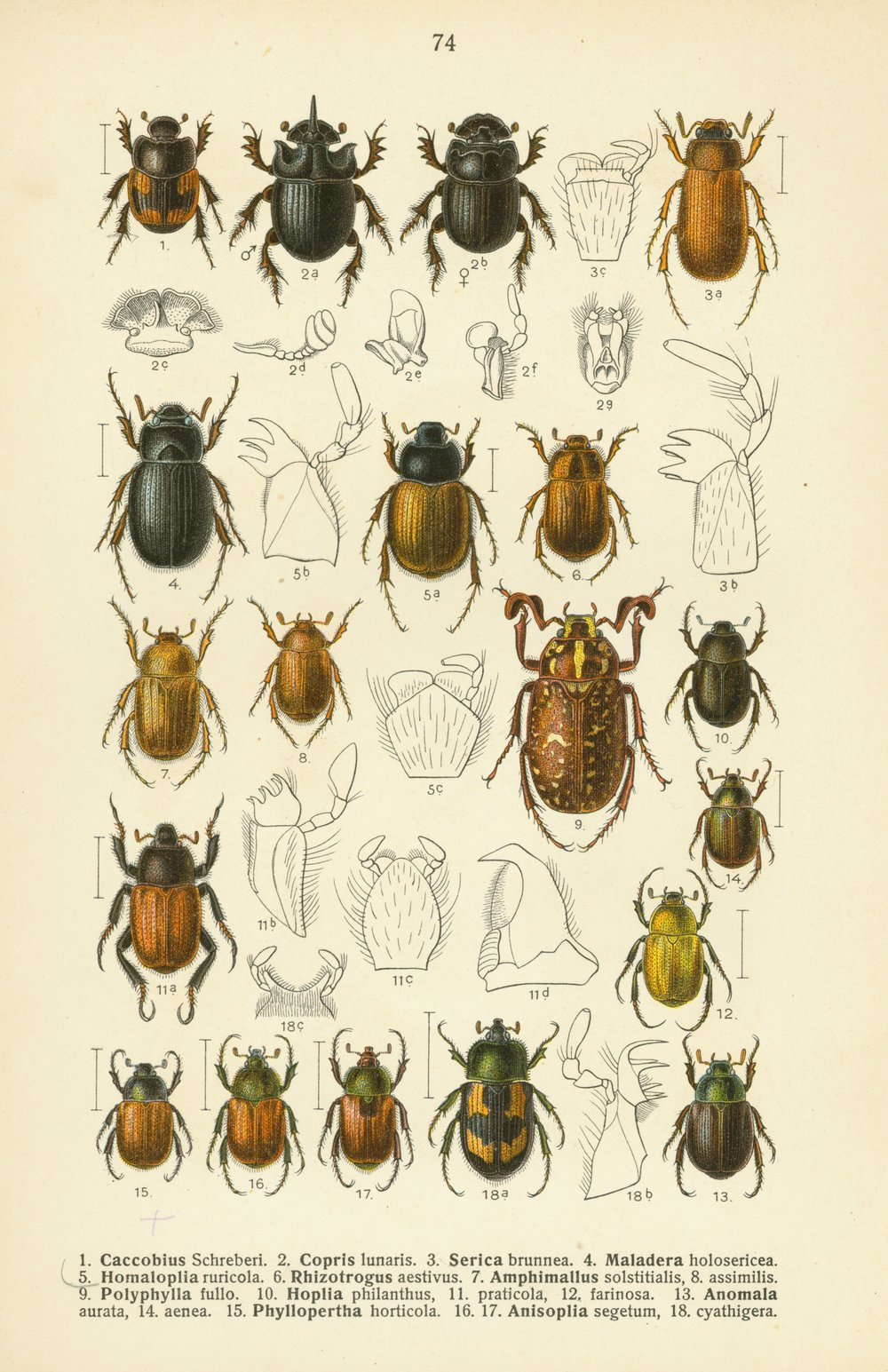 Scarab beetles .
