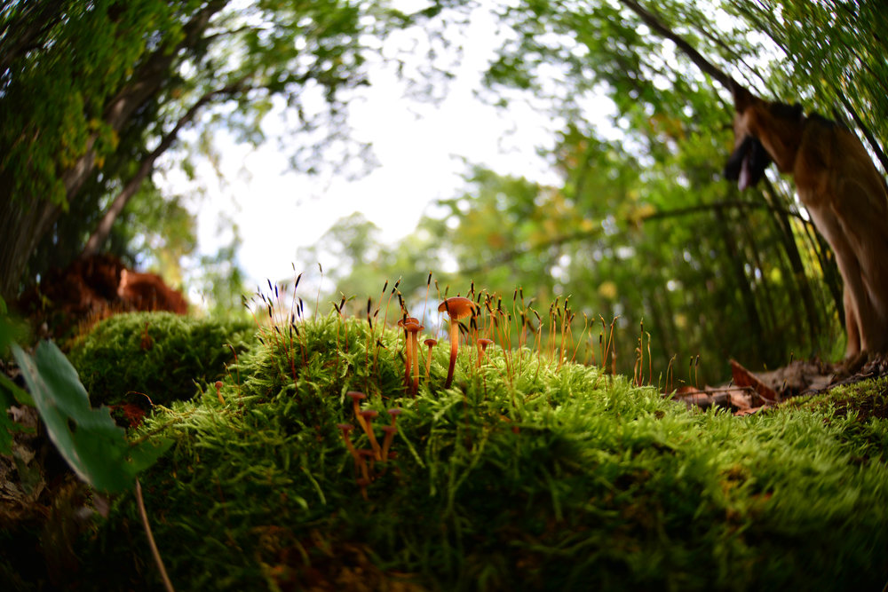 Rickenella fibula , moss with its cluster of sporophytes, and my best hiking companion Stella.
