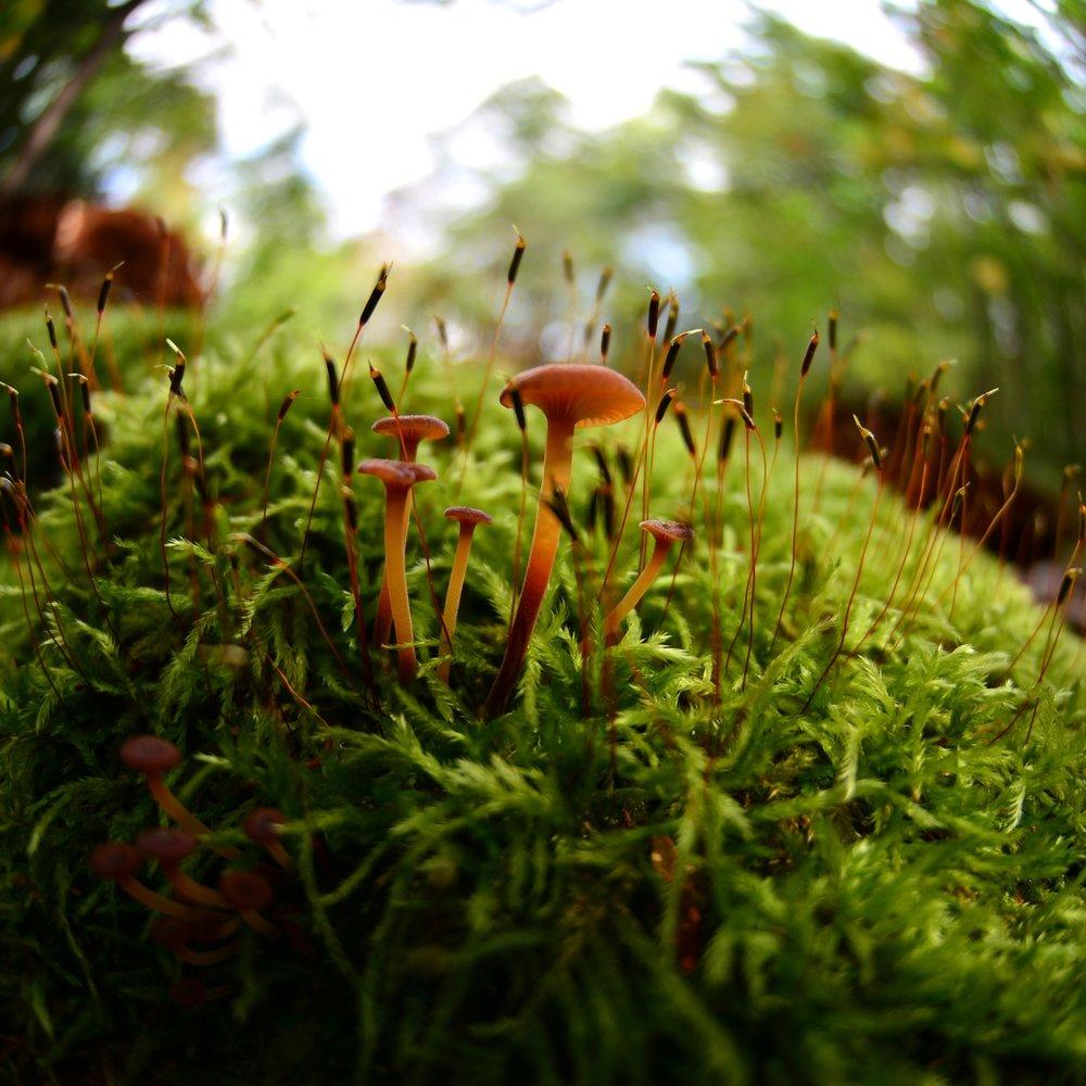 Rickenella fibula -the orange mosscap.