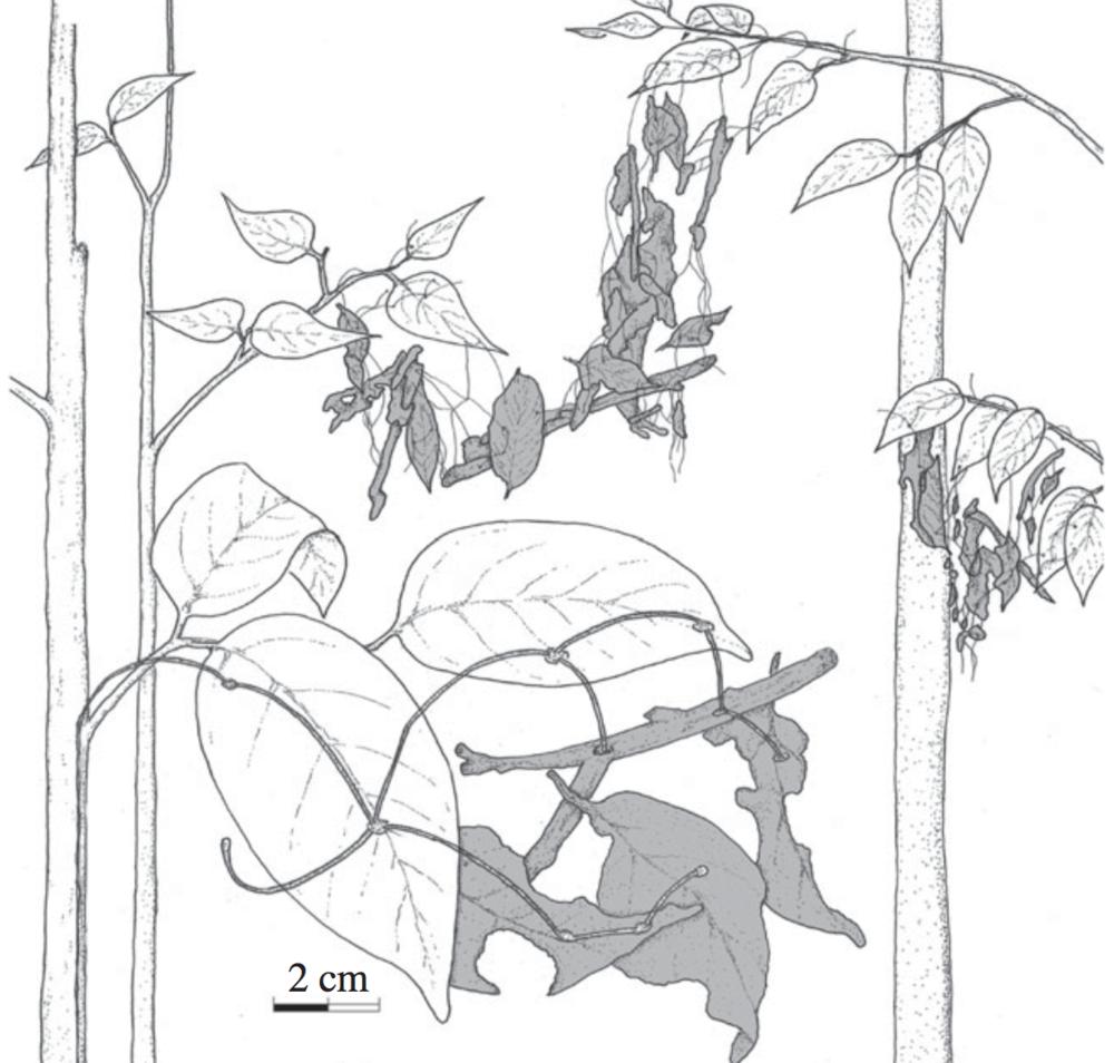 Aerial rhizomorphs from Snaddon et al. 2011.