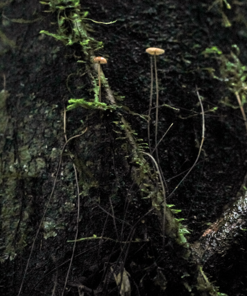 """Aerial rhizomorphs and fruiting body of a   Crinipellis  spp.-family Marasmiaceae.Photo by          96              Normal   0           false   false   false     EN-US   X-NONE   X-NONE                                                                                                                                                                                                                                                                                                                                                                                                                                                                                                                                                                                                                                                                                                                                                                                                                                                                                     /* Style Definitions */ table.MsoNormalTable {mso-style-name:""""Table Normal""""; mso-tstyle-rowband-size:0; mso-tstyle-colband-size:0; mso-style-noshow:yes; mso-style-priority:99; mso-style-parent:""""""""; mso-padding-alt:0in 5.4pt 0in 5.4pt; mso-para-margin:0in; mso-para-margin-bottom:.0001pt; mso-pagination:widow-orphan; font-size:12.0pt; font-family:""""Calibri"""",sans-serif; mso-ascii-font-family:Calibri; mso-ascii-theme-font:minor-latin; mso-hansi-font-family:Calibri; mso-hansi-theme-font:minor-latin;}      Danny Newma  n ."""