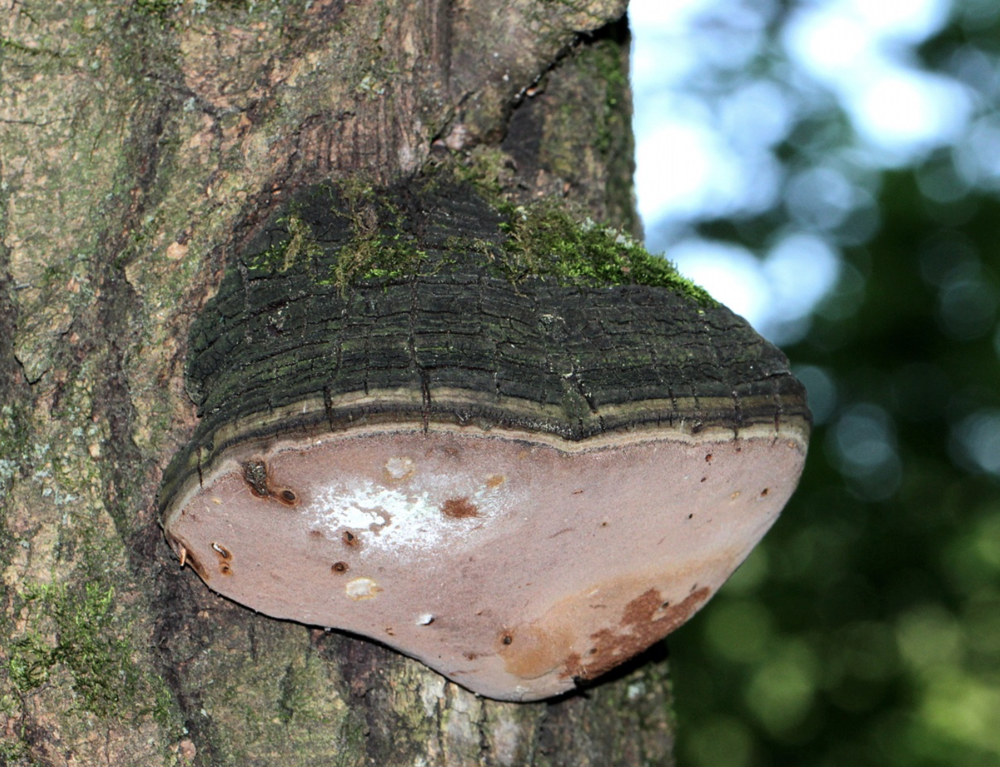 A thick-walled spore producer  Phellinus igniarius.  Photo by    Andrew Khitsun .
