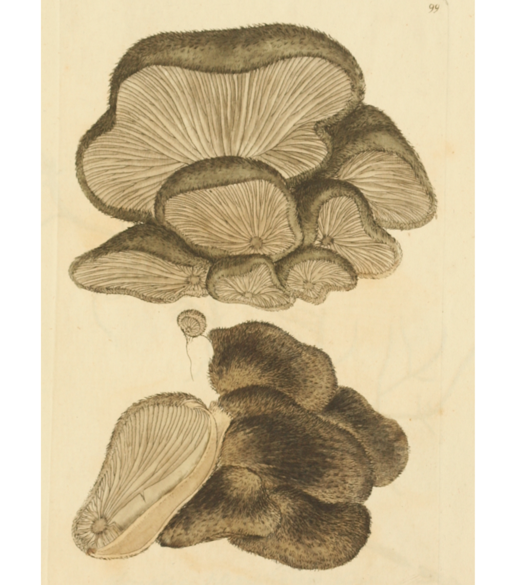Hohenbuehelia mastrucata   illustration .