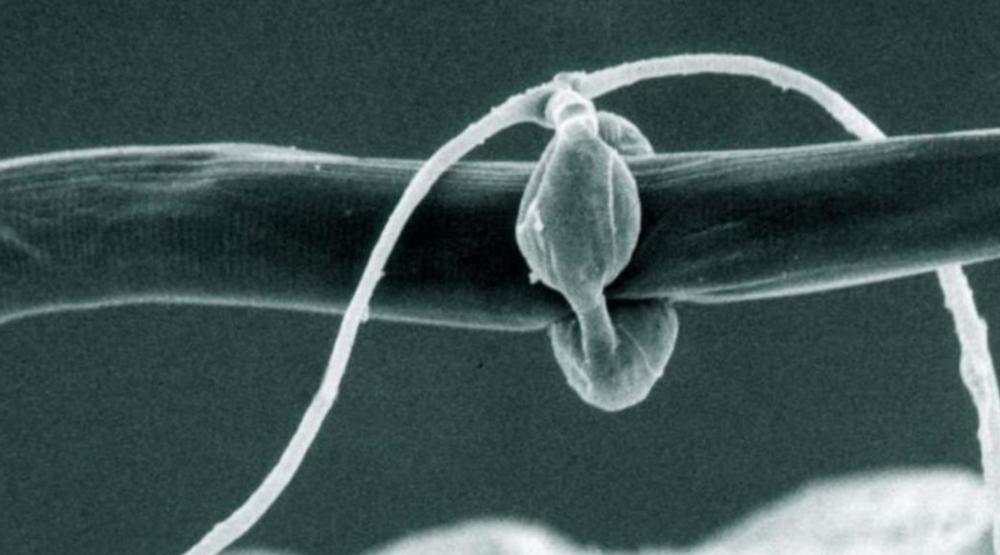 A nematophagous fungi utilizing a constricting lasso.