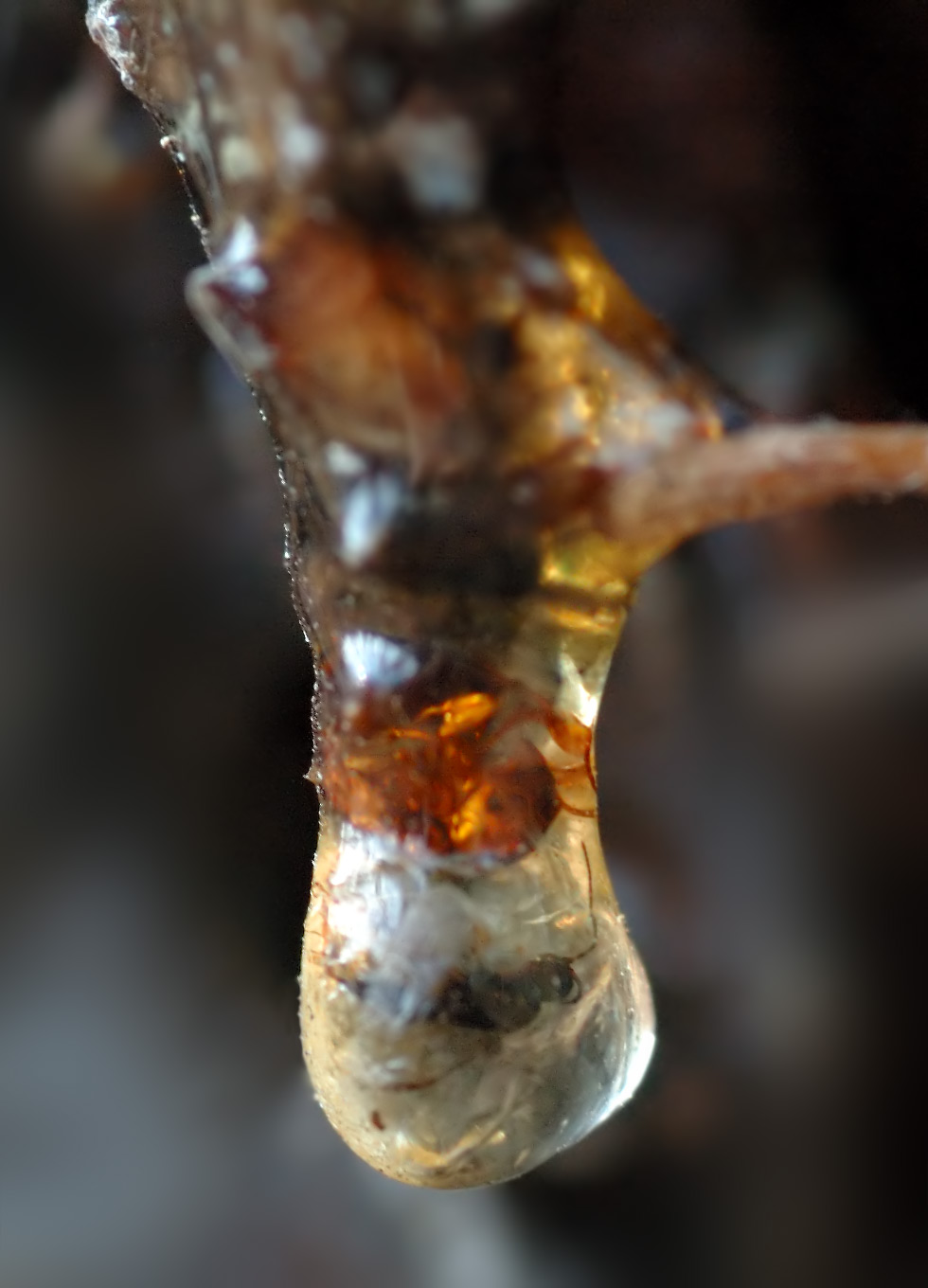 Insect trapped in bioactive  resin .