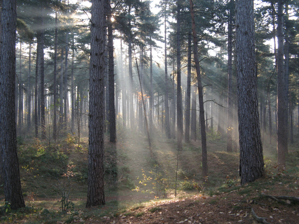 Pollen enhances ecosystem functioning in  Pinus nigra  dominated ecosystem in  Belgium .