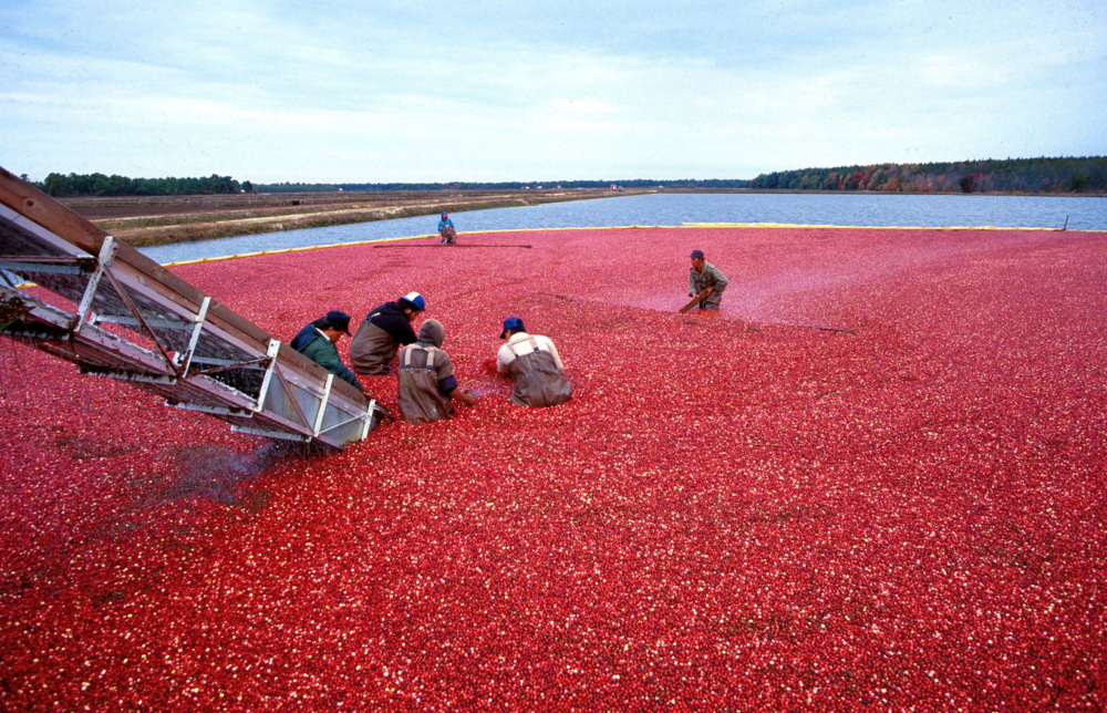 Cranberry cultivation.