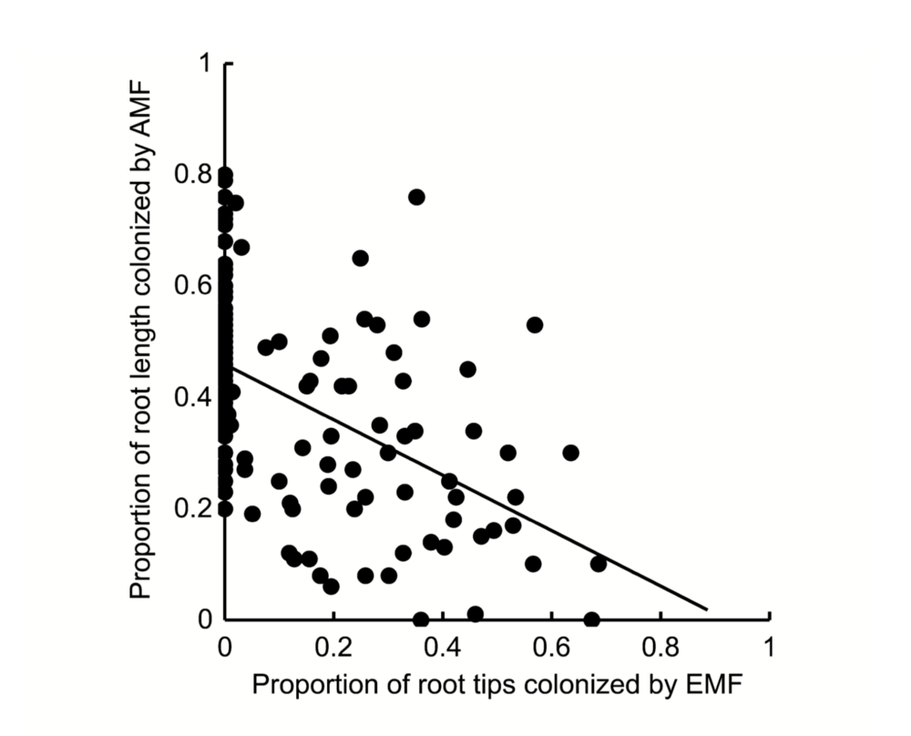 AMF colonization reduces with enhanced ECM colonization. Becklin et al. 2012.