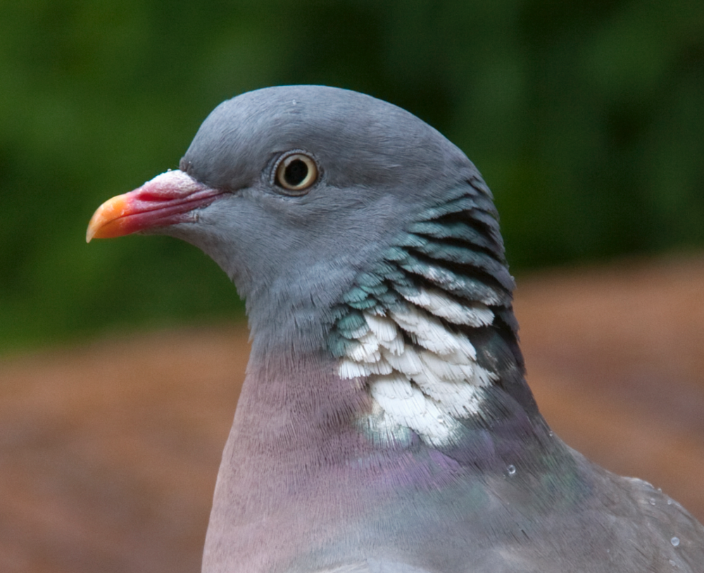 The most preyed on species in this study, the common wood pigeon,  Columba palumbus .