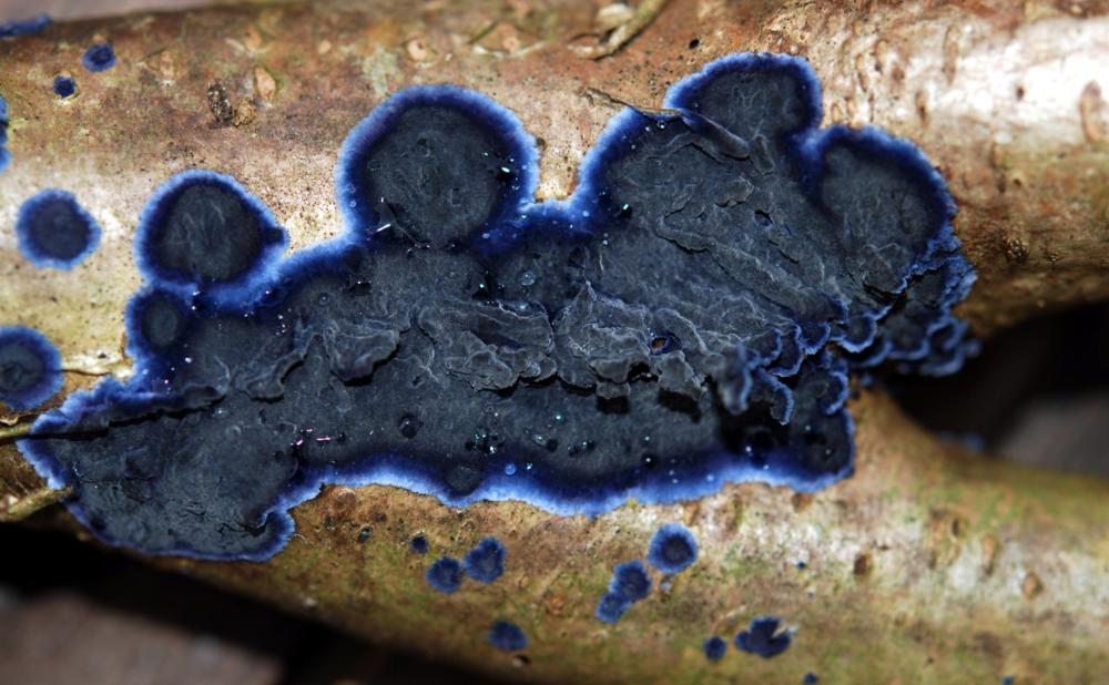 The cobalt crust.