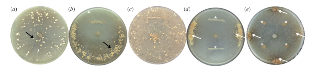 (a,c)Sclerotia growing throughout media in the absence of bacteria. (b,d,e) Sclerotia growing furthest away from where bacteria was inoculated (arrows).  Pion et al. 2013 .