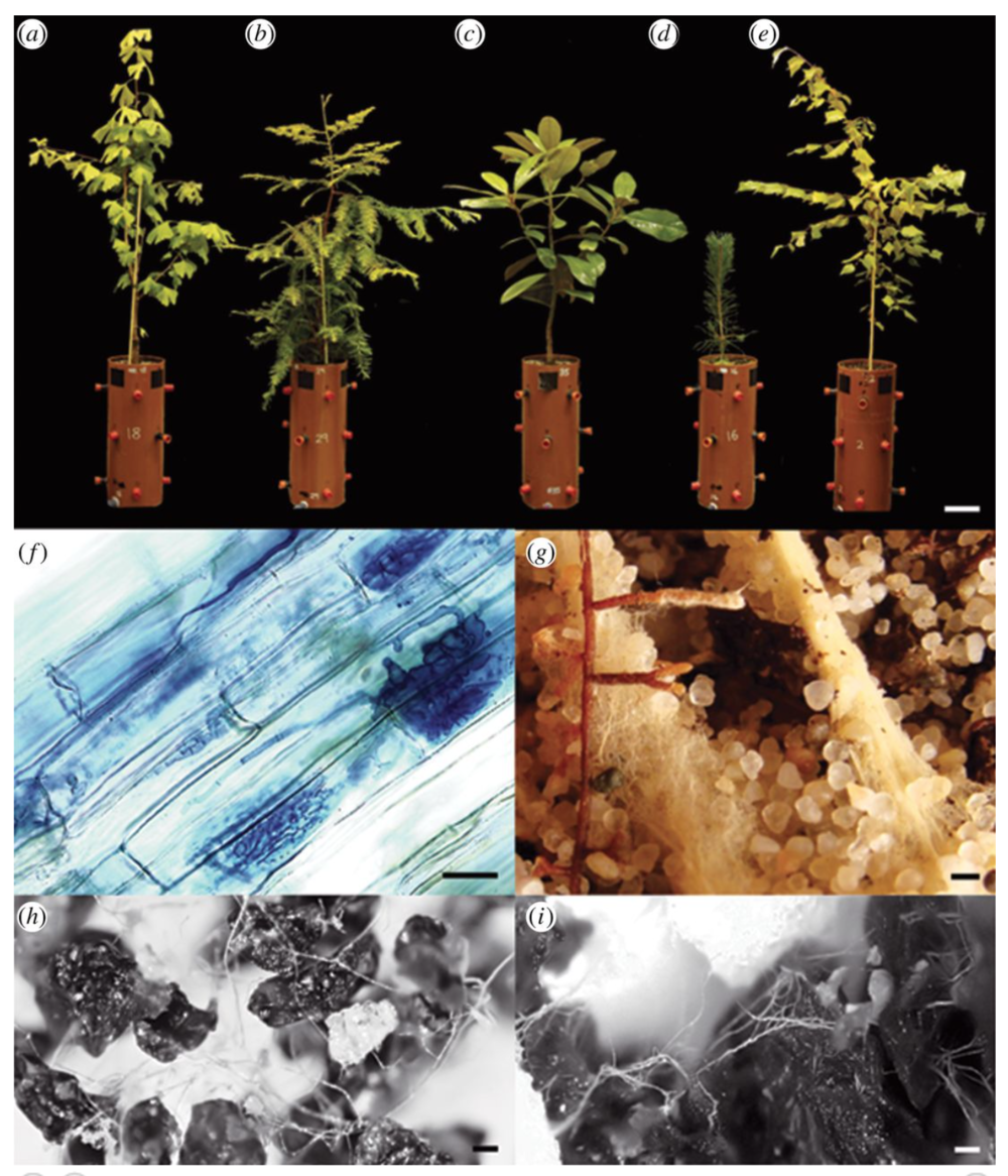 Three AMF hosts in the 2014 study.  Ginkgo biloba ,  Sequoia sempervirens  and  Magnolia grandiflora  followed by two ECM hosts,  Pinus sylvestris  and  Betula pendula . (f) AMF structures. (g) ECM rootlets.  Quirk et al. 2014 .