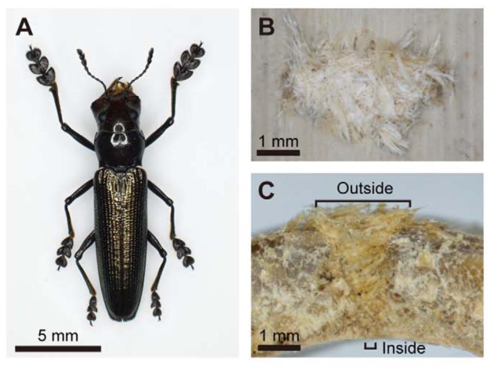Lizard beetle, Doubledaya bucculenta  (A), bamboo fibre plug (B,C). Toki et al. 2012 .