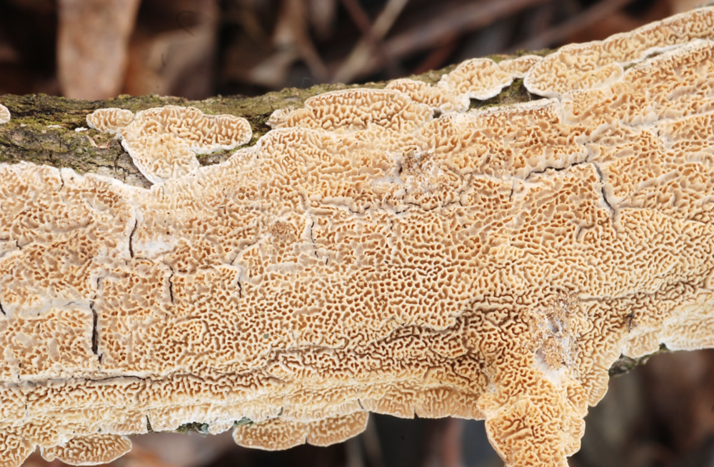 The milk-white toothed polypore,   Irpex lacteus  .