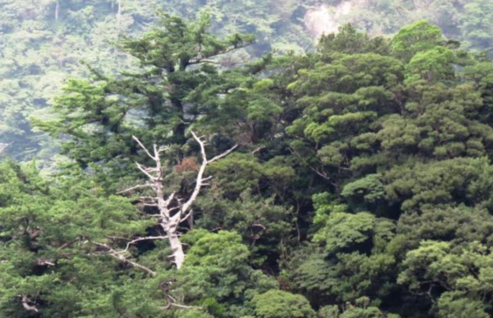 Pinus amamiana  .