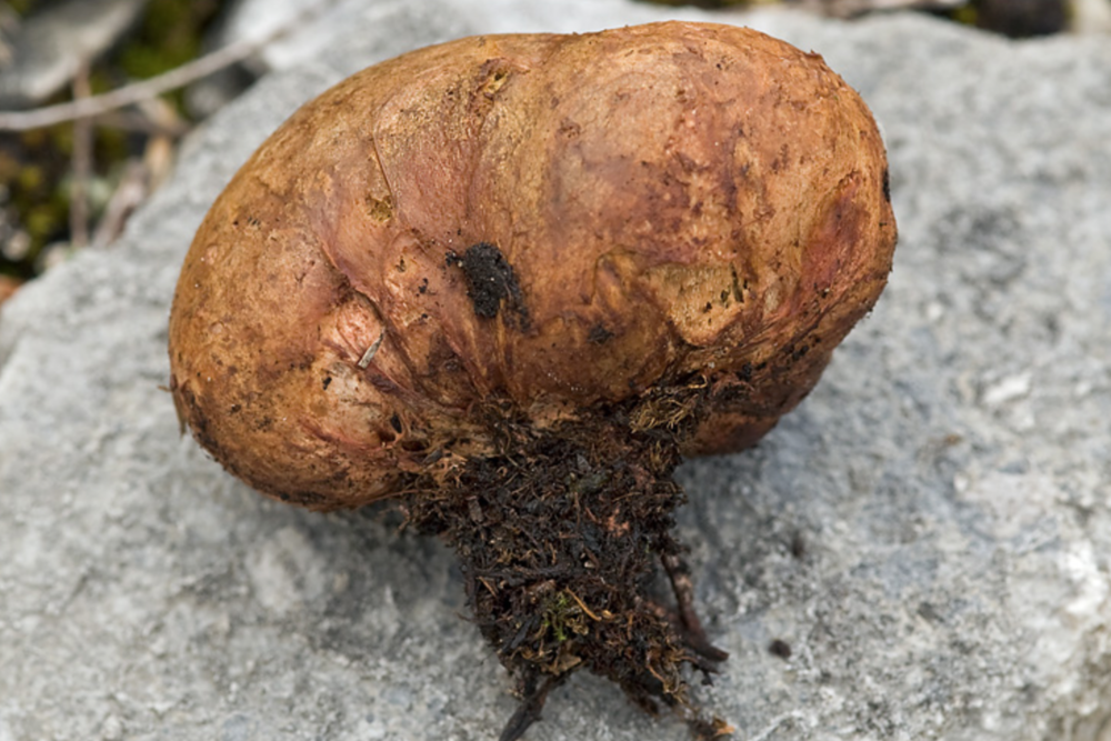 "The subterraneous fruiting body of a ""false truffle,""  Rhizopogon luteolus ."