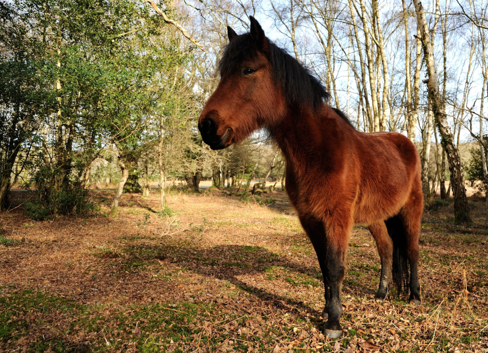 Semi-wild horse  in the New Forest in England.