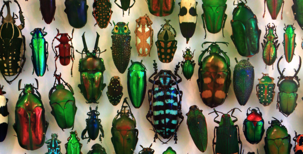 Beetles represent 40% of all the insects, and 25% of all the animals living on Earth today.