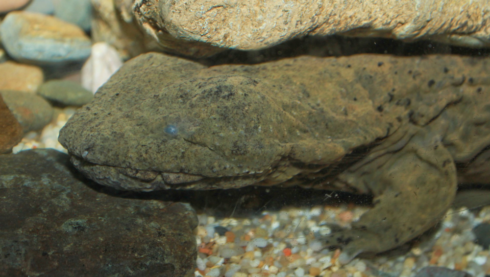 Eastern hellbender (  Cryptobranchus alleganiensis  ).