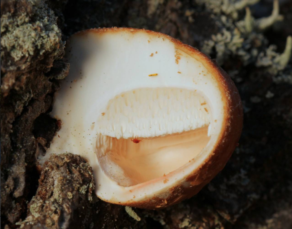 """Cross section of  Cryptoporus volvatus . Check out the veil encasing the whole fungus, its pore bearing surface and insect inside. Photo by                       Normal    0                false    false    false       EN-US    X-NONE    X-NONE                                                                                                                                                                                                                                                                                                                                                                                                                                                                                                                                                                                                                                                                                                                                                                                                                                                                                                                                                                                                                                                                                                                                                                                                                                                                  /* Style Definitions */  table.MsoNormalTable {mso-style-name:""""Table Normal""""; mso-tstyle-rowband-size:0; mso-tstyle-colband-size:0; mso-style-noshow:yes; mso-style-priority:99; mso-style-parent:""""""""; mso-padding-alt:0in 5.4pt 0in 5.4pt; mso-para-margin:0in; mso-para-margin-bottom:.0001pt; mso-pagination:widow-orphan; font-size:12.0pt; font-family:""""Calibri"""",sans-serif; mso-ascii-font-family:Calibri; mso-ascii-theme-font:minor-latin; mso-hansi-font-family:Calibri; mso-hansi-theme-font:minor-latin; mso-bidi-font-family:""""Times New Roman"""";"""