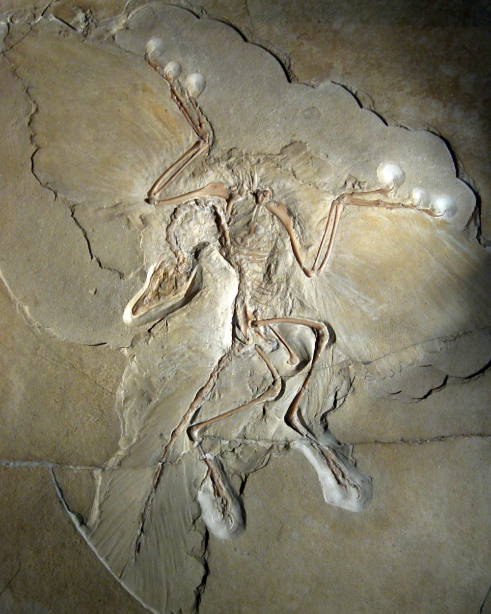 A link between dinosaurs and modern birds,   Archaeopteryx .