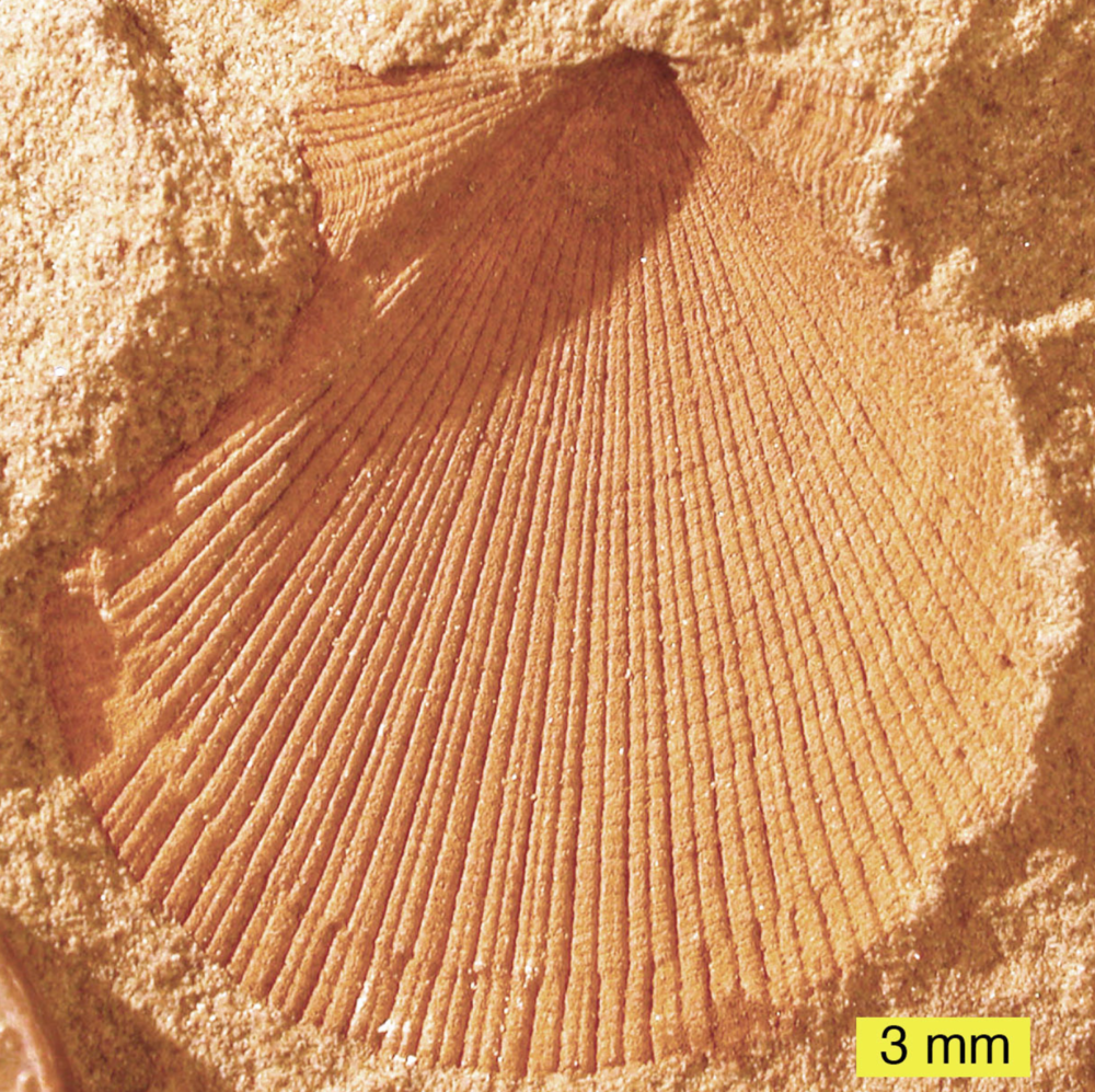 Organisms with calcium carbonate shells and bones are widely represented in the fossil record.