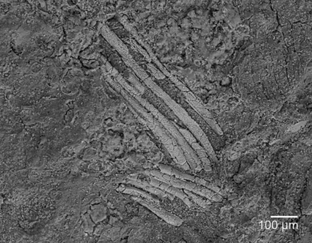 Preserved gills of  Gondwanagaricites magnificus.  Heads et al. 2017 .