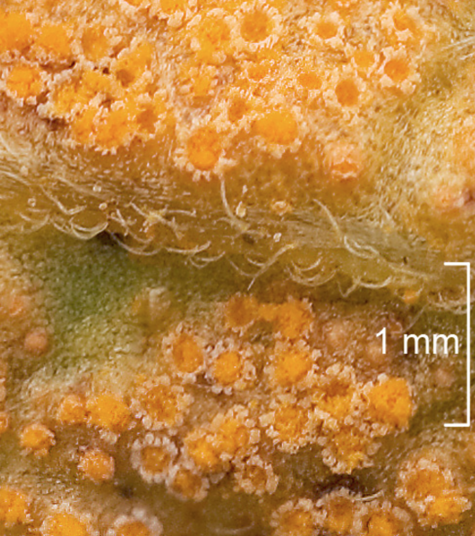 """Close up of a  Puccinia  species. By                       Normal    0                false    false    false       EN-US    X-NONE    X-NONE                                                                                                                                                                                                                                                                                                                                                                                                                                                                                                                                                                                                                                                                                                                                                                                                                                                                                                                                                                                                                                                                                                                                                                                                                                                                  /* Style Definitions */  table.MsoNormalTable {mso-style-name:""""Table Normal""""; mso-tstyle-rowband-size:0; mso-tstyle-colband-size:0; mso-style-noshow:yes; mso-style-priority:99; mso-style-parent:""""""""; mso-padding-alt:0in 5.4pt 0in 5.4pt; mso-para-margin:0in; mso-para-margin-bottom:.0001pt; mso-pagination:widow-orphan; font-size:12.0pt; font-family:""""Calibri"""",sans-serif; mso-ascii-font-family:Calibri; mso-ascii-theme-font:minor-latin; mso-hansi-font-family:Calibri; mso-hansi-theme-font:minor-latin; mso-bidi-font-family:""""Times New Roman""""; mso-bidi-theme-font:minor-bidi;}      A    madej Trnkoczy     ."""