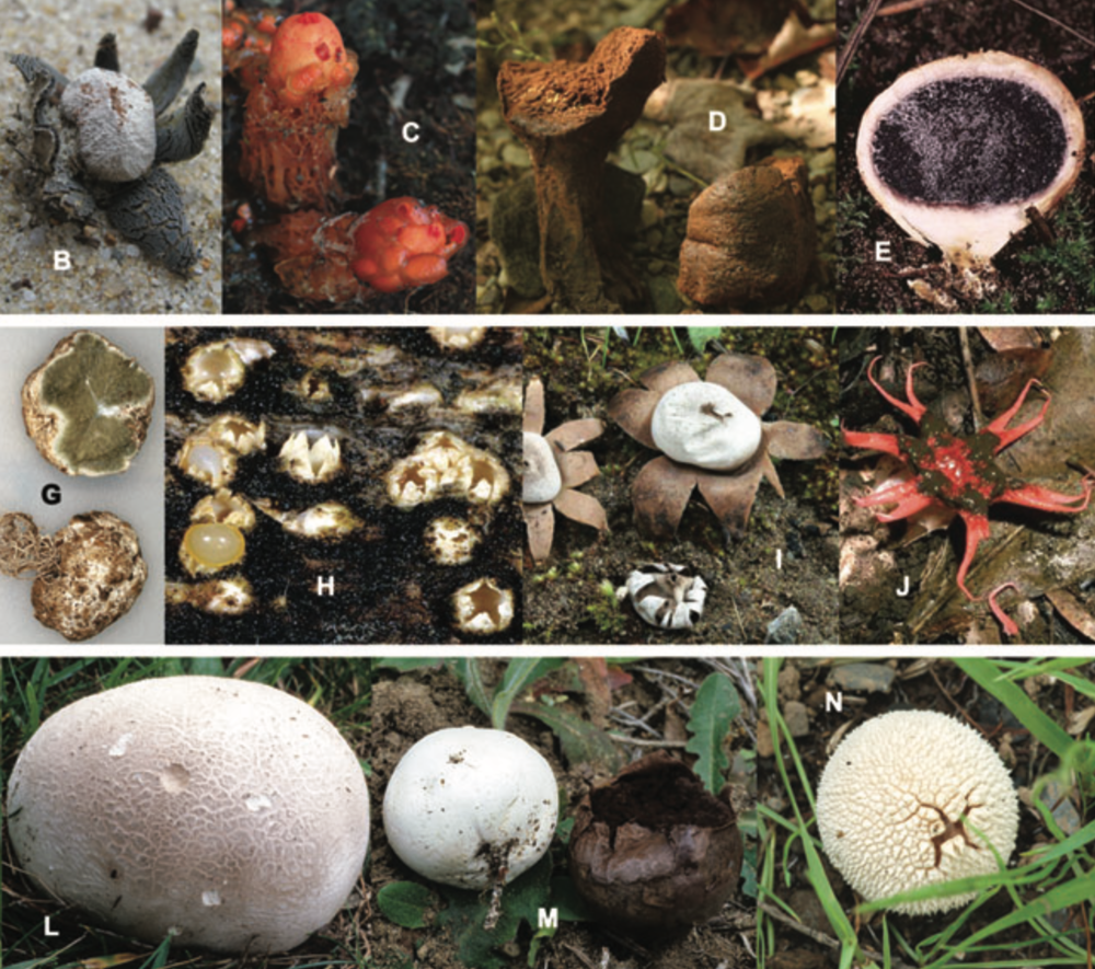 Different examples of gasteroid fungi. Wilson et al. 2010 .