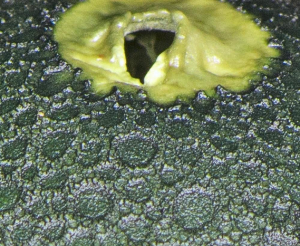 Open pore of a mature   Chlorogaster dipterocarpi .