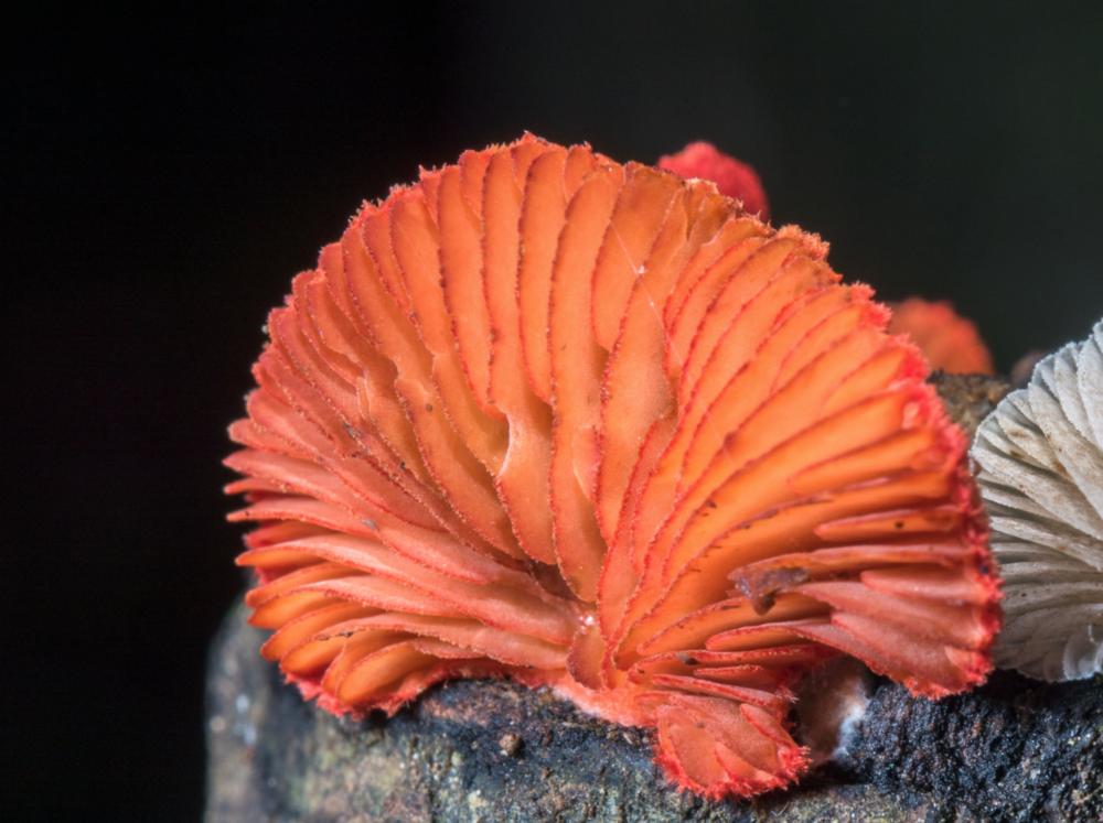 Crepidotus cinnabarinus  found in Rancho Tixtla, Veracruz, Mexico by  Alan Rockefeller .