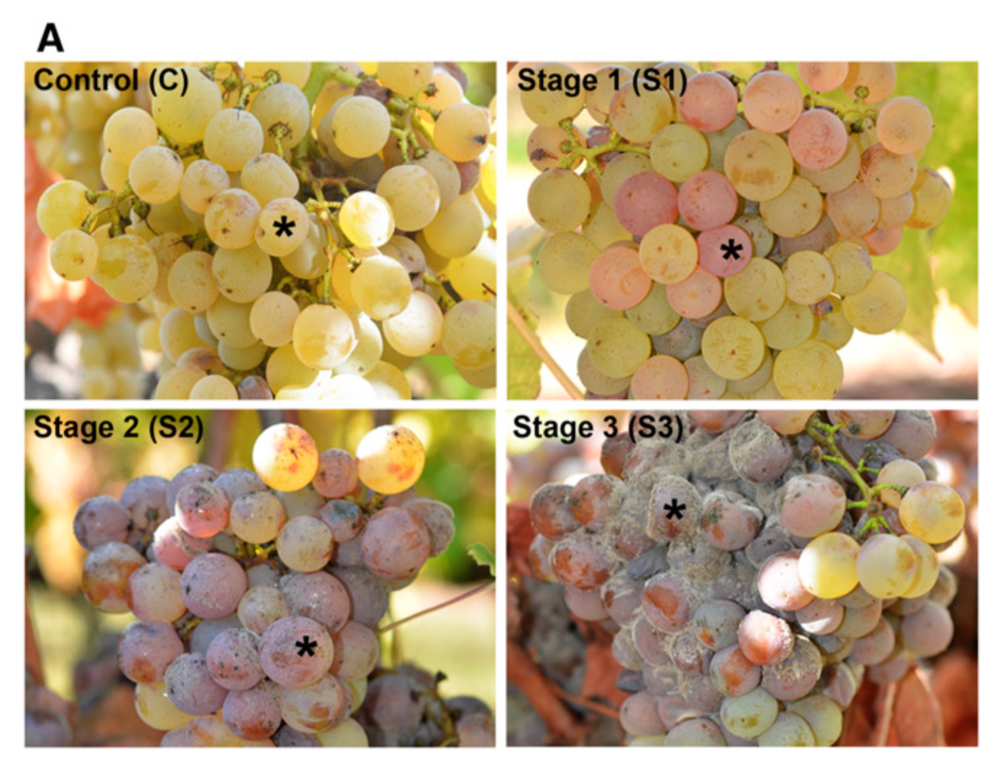 Stages of noble rot in ripe cv Sémillon berries.   Blanco-Ulate et al. 2015 .