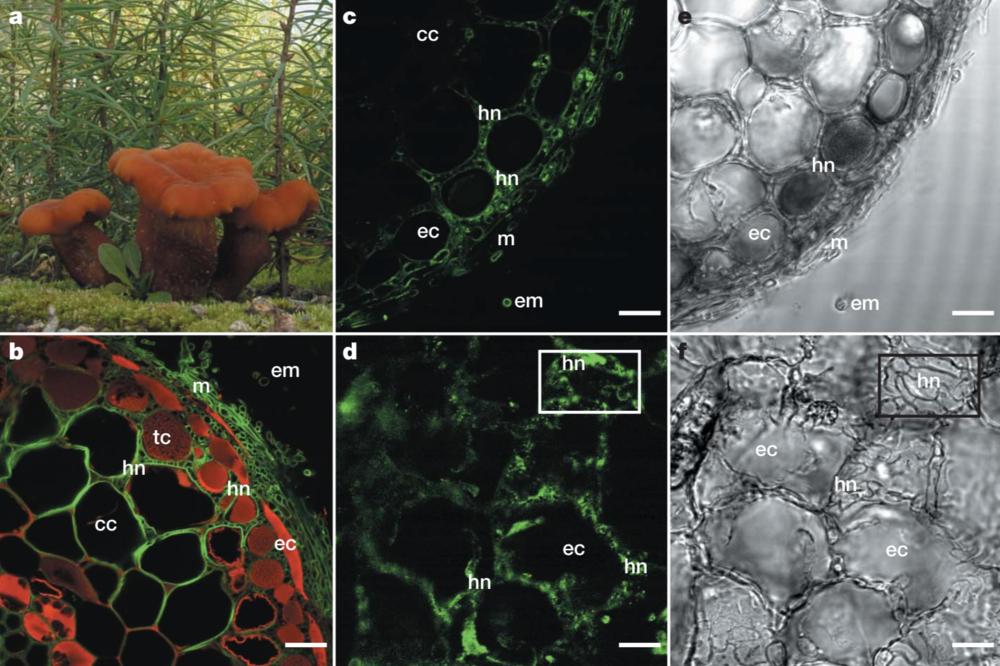 L. bicolor  invading pine sapling roots. Martin et al. 2008 .