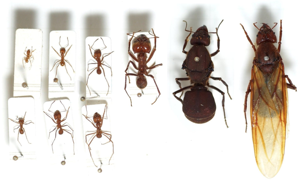 The most complex eusocial ant species are the fungus cultivating leaf-cutter ants. Here is one species with  9 different castes , all carrying out different functions.