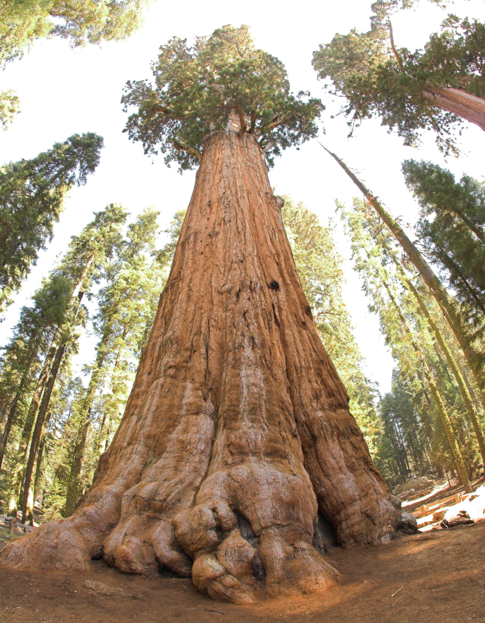 Earth's most massive tree, a giant sequoia ( Sequoiadendron giganteum ) named  General Sherman .