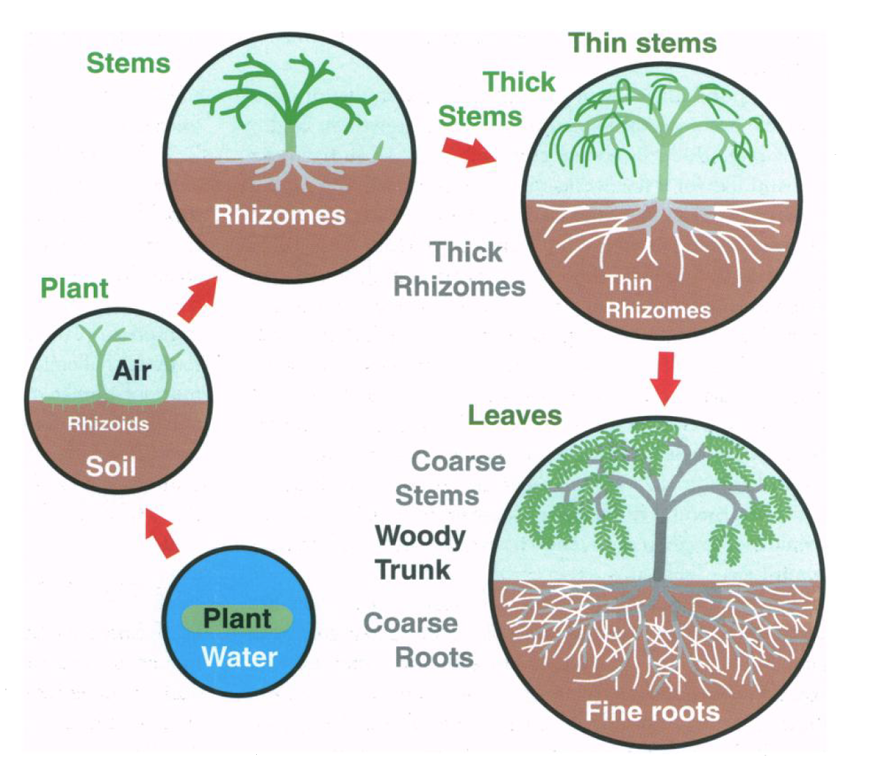 Evolutionary trajectory of plant roots.From  Brundrett 2002 .