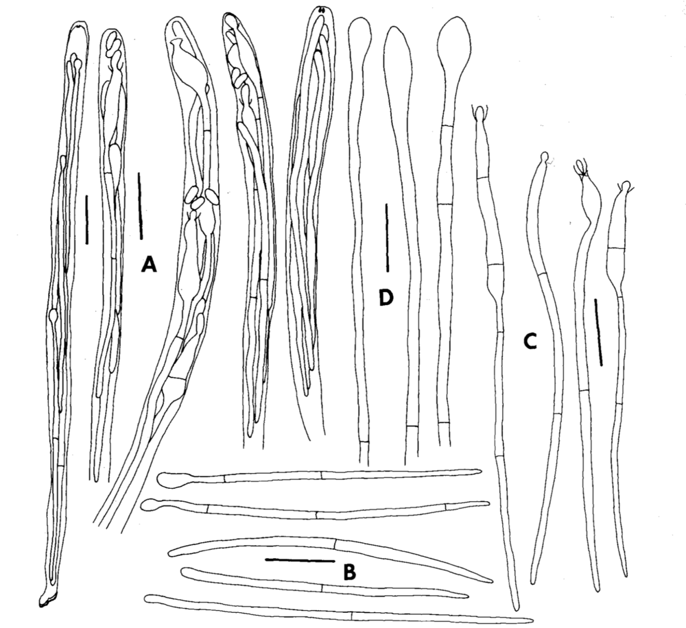 A.) Asci. B.) Ascospores that do not have a phialide. C.) Ascopores that have a phialide. D.) Paraphyses.  From Kohn 1989 .