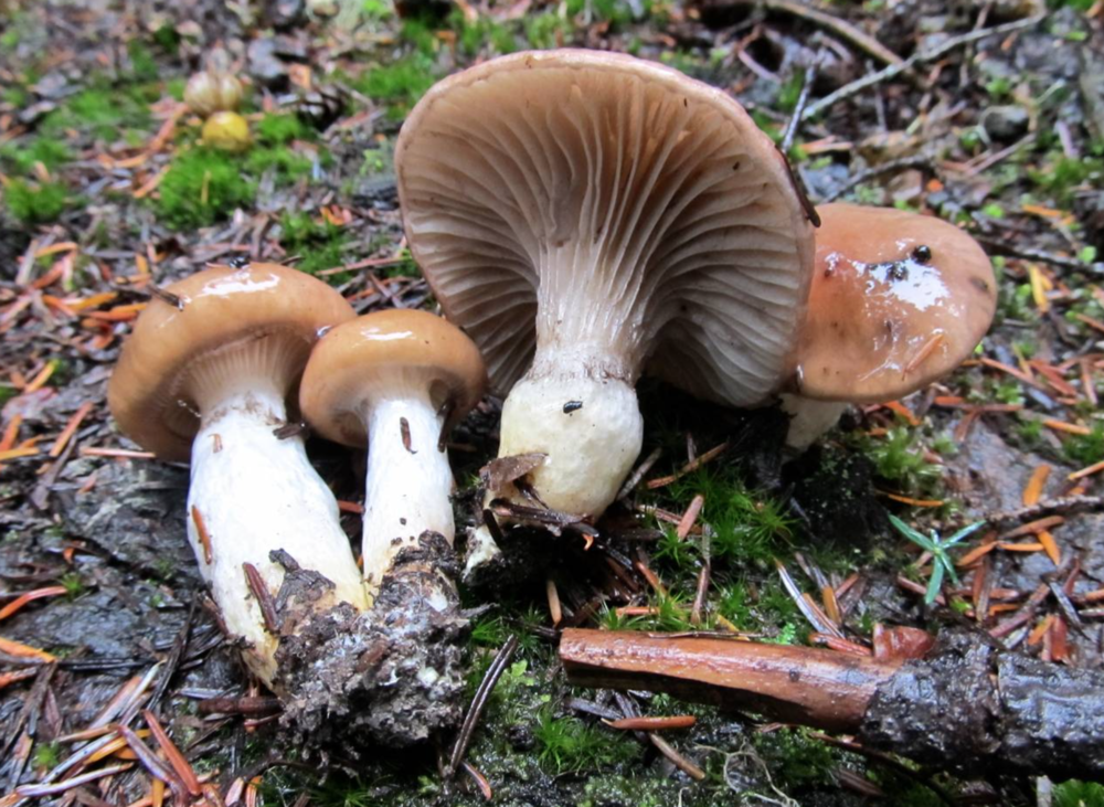Gomphidius glutinosus . Photo by  Drew Henderson .