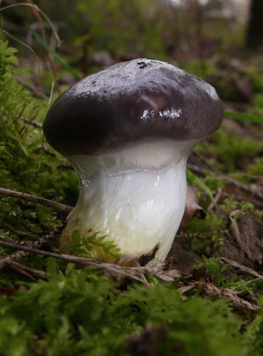 Gomphidius glutinosus .