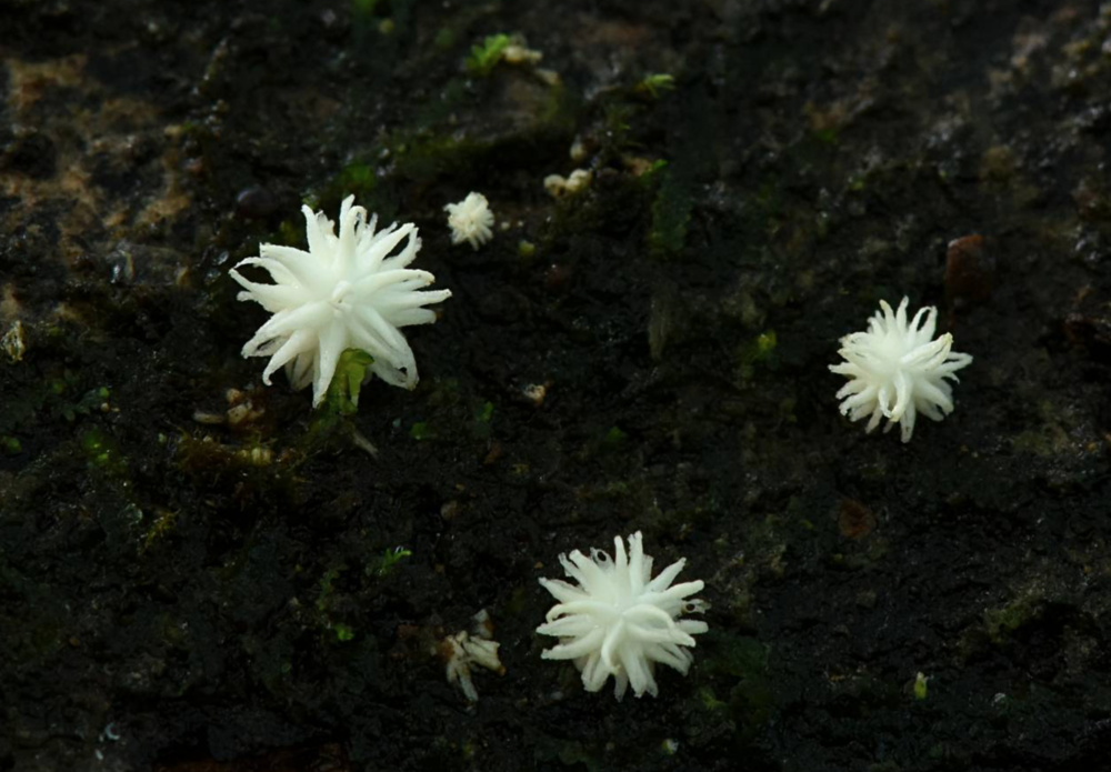 The mushroom looks like tiny, spikey puffballs when they're just emerging. Again, found in Mexico by  Alan Rockefeller .