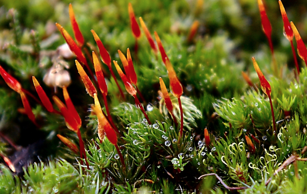 Extant species of moss represent the more ancestral condition of plants before they evolved vascular tissue.