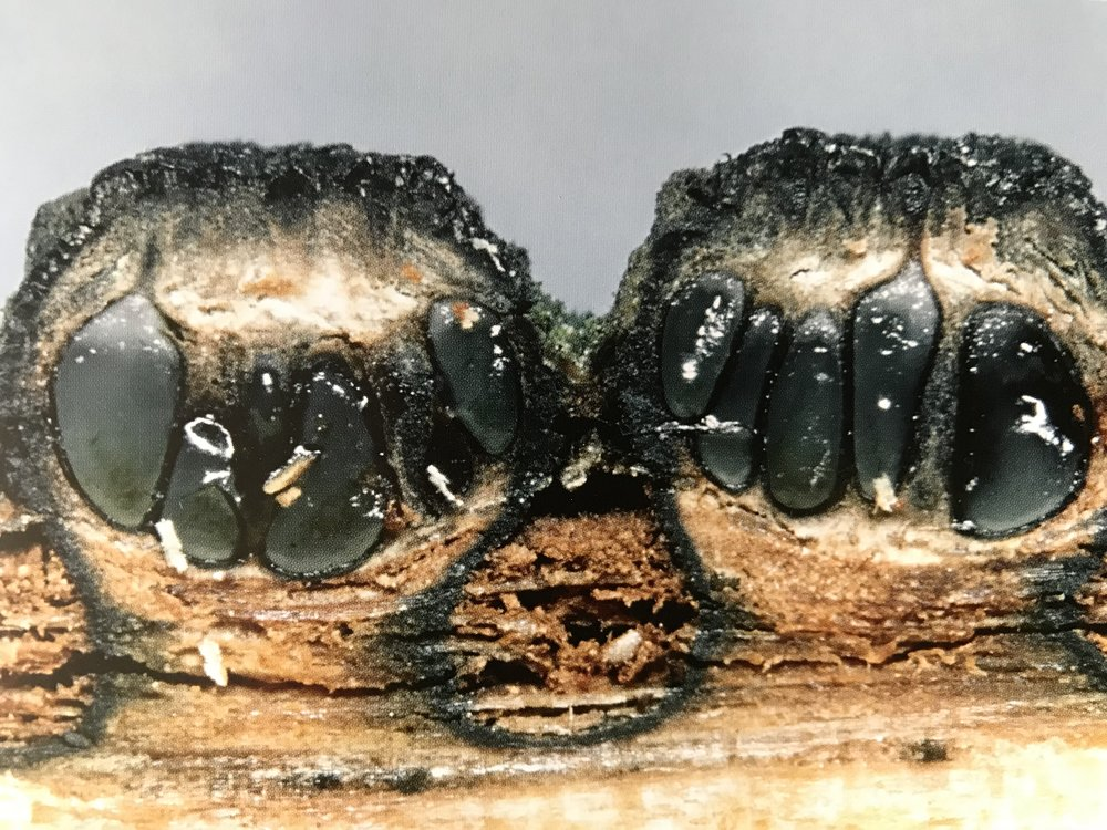 Cross section of  Diatrypella quercina . Perithecia contained within its stroma. Semi submerged in its woody substrate.